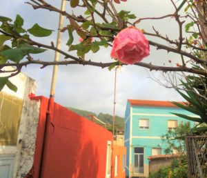 Camino roses