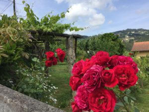 Roses on Camino de Santiago